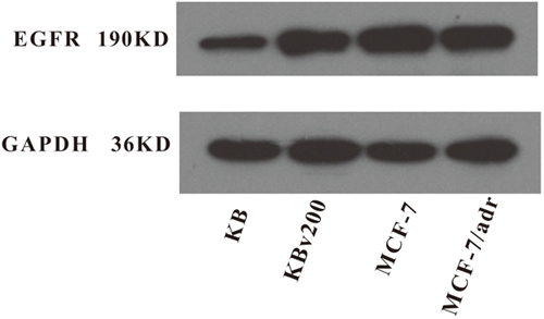 Expression level of EGFR in MDR cancer cells.