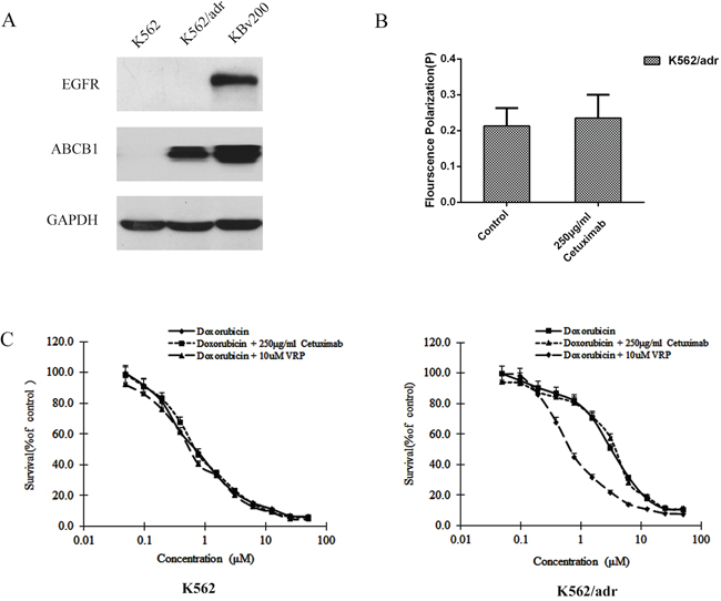 Effect of cetuximab on the cell membrane fluidity in EGFR negative K562/adr cells.