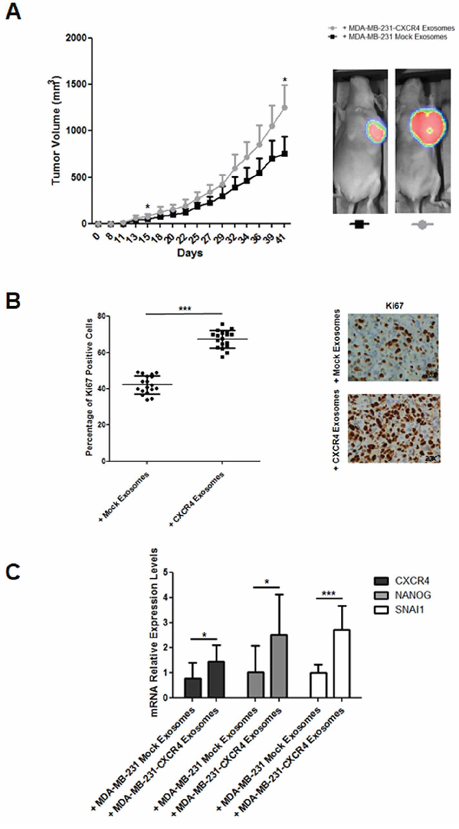 A. Evolution of tumor growth in immunodeficient mice intravenously injected with MDA-MB-231-CXCR4-derived exosomes.