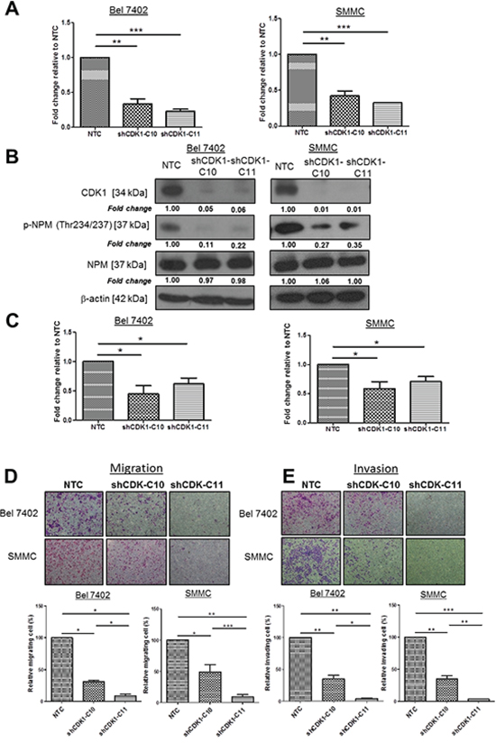 CDK1, upstream kinase of NPM, enhanced HCC cell migration and invasion.