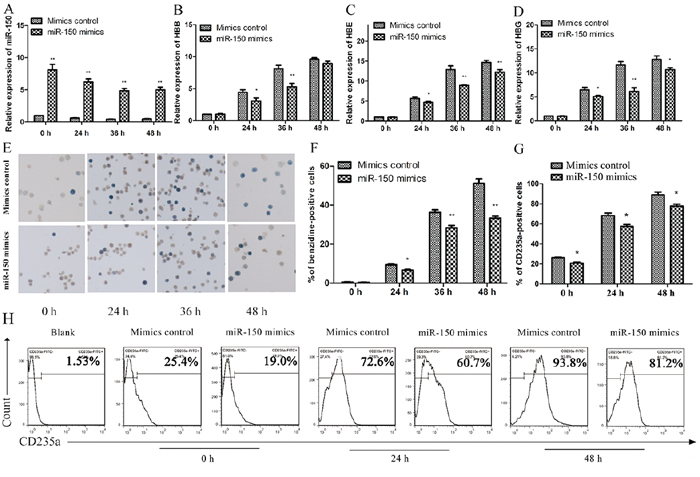 Overexpression of miR-150 inhibits hemin-induced erythroid differentiation of K562 cells.