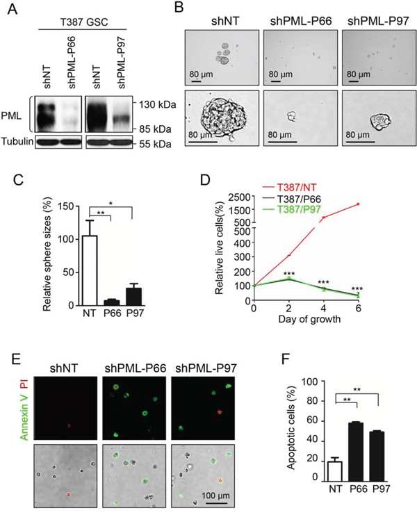 Knock-down of PML in GSCs mimics As2O3 treatment to inhibit GSC growth in vitro.