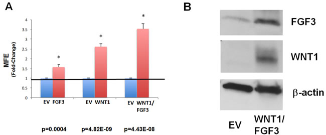 Recombinant over-expression of WNT1 and/or FGF3 in MCF7 cells significantly augments mammosphere formation.