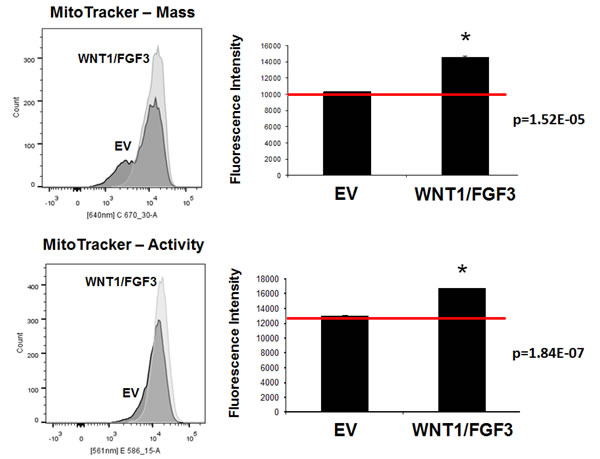 WNT1/FGF3 over-expressing MCF7 cells have increased mitochondrial mass and activity.
