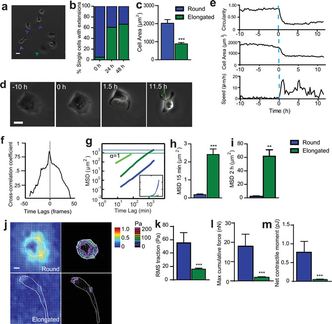 SASP-induced change in cell morphology is accompanied by onset of migration.