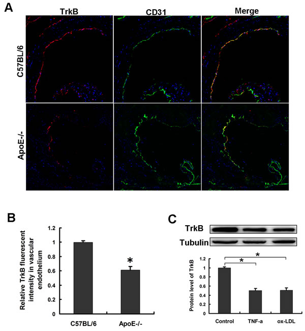 The expression of TrkB in endothelial cells was downregulated under atherosclerotic states.