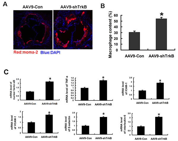 Increased macrophage infiltration and mRNA induction of proinflammatory markers in the atherosclerotic lesions of ApoE-/- mice by TrkB knockdown.