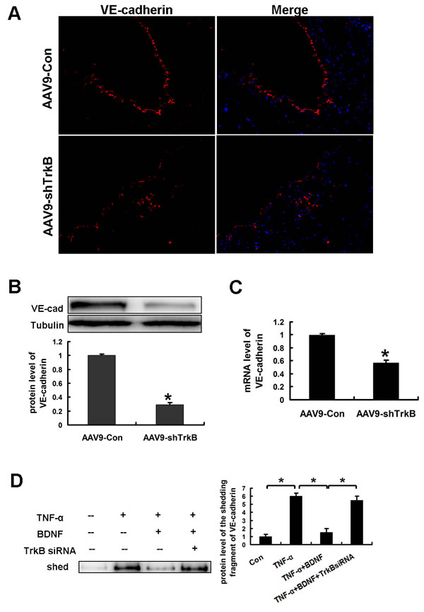 BDNF prevented TNF-α induced-shedding of VE-cadherin in HAECs.