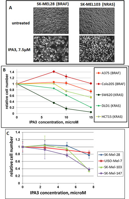Differential sensitivity of BRAF- and RAS-mutated cells to IPA3.
