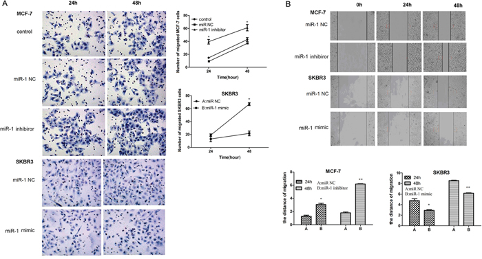 miR-1 inhibits the migration and wound healing of CSC in vitro.