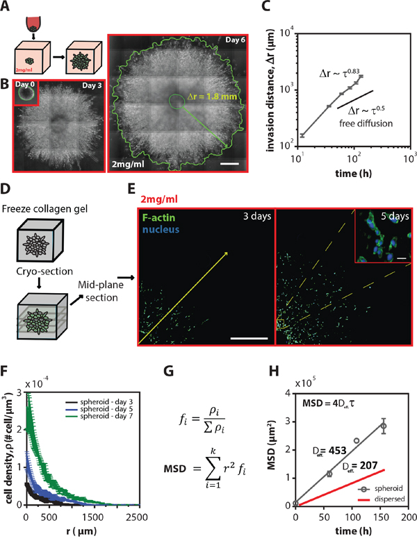 Tumor spheroids are highly invasive inside 3D collagen matrices.