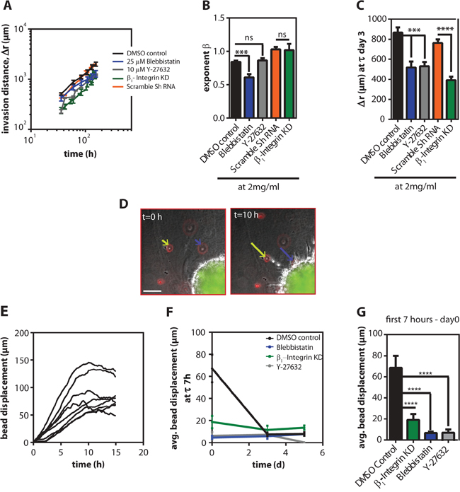 Cells required contractility to persistently invade inside 3D collagen gels.