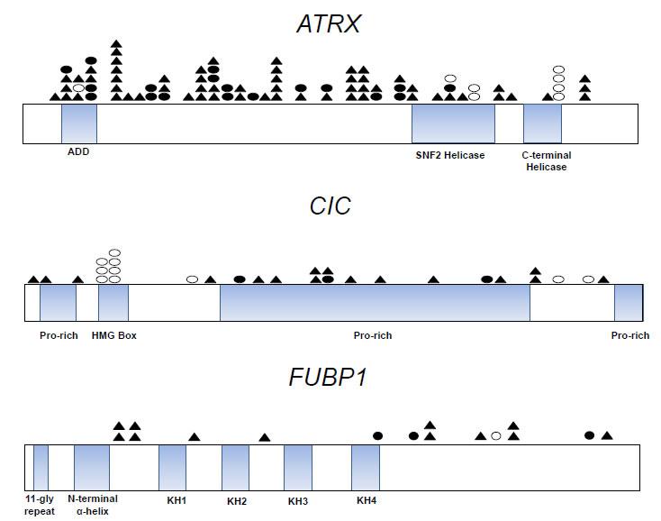 Distribution of ATRX, CIC, and FUBP1 mutations in gliomas.