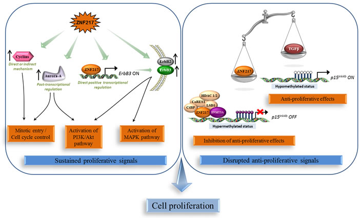 ZNF217 sustains chronic cell proliferation.