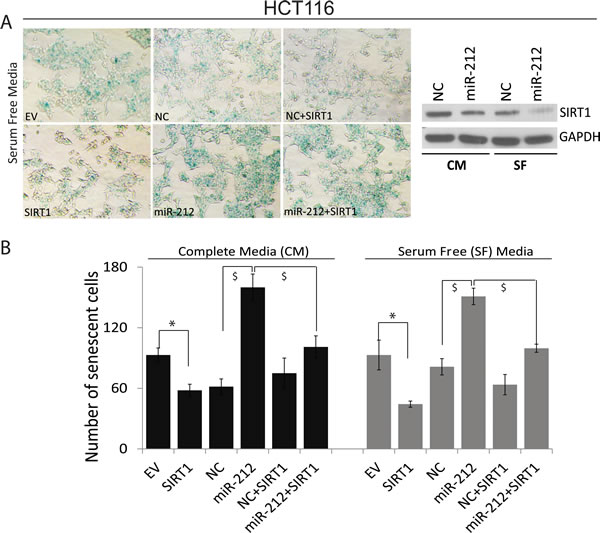 miR-212 induces cellular senescence.