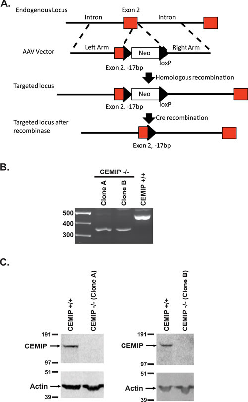 Gene knockout of CEMIP in DLD-1 cells.