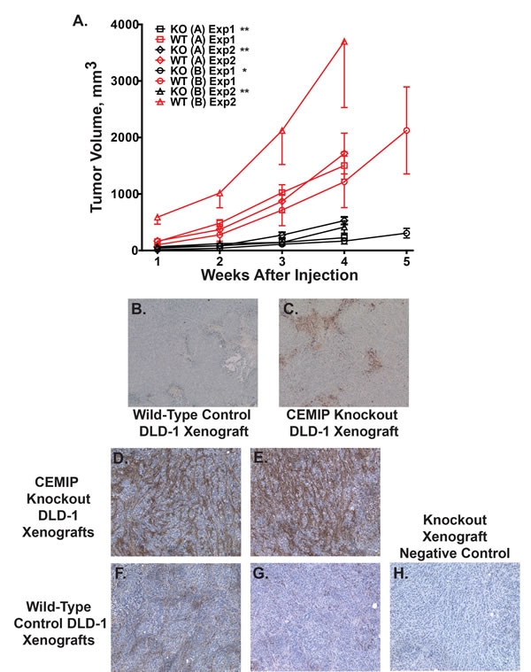 Reduced tumor growth and increased apoptosis in CEMIP negative tumor xenografts.