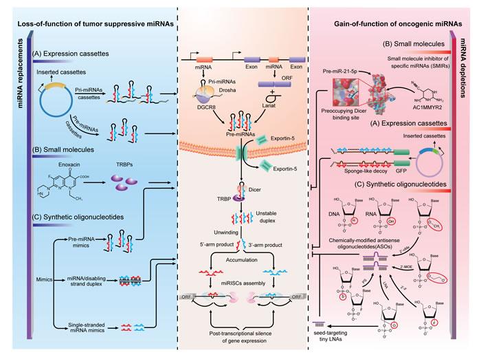 Strategies of miRNA interventions.
