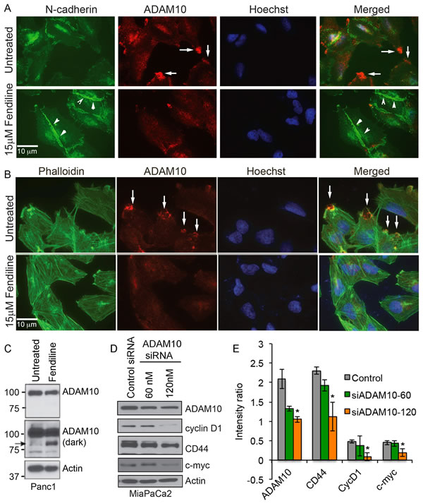 Fendiline treated Panc1 cells show reduced localization of ADAM10 at the membrane protrusions: