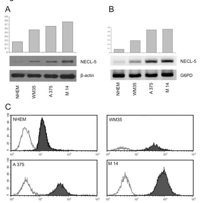 Expression analyses of NECL-5 in WM35, M14 and A375 cell lines.