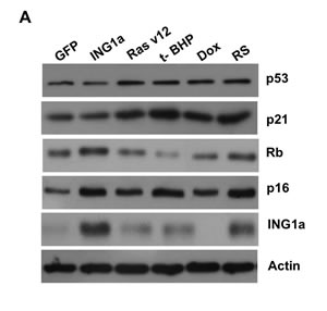 ING1a induced senescence is independent of p53