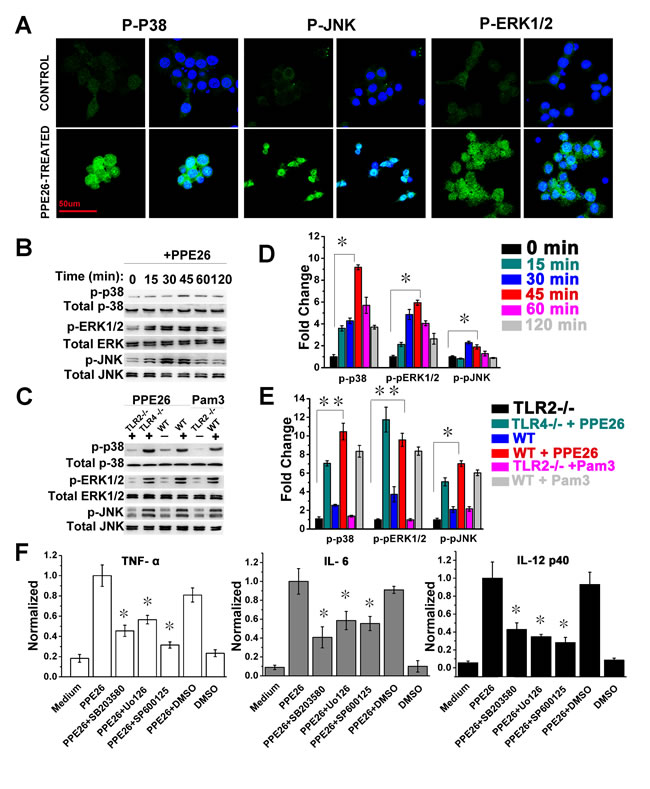 Macrophages activation triggered by PPE26 involves activation of MAPKs signaling.