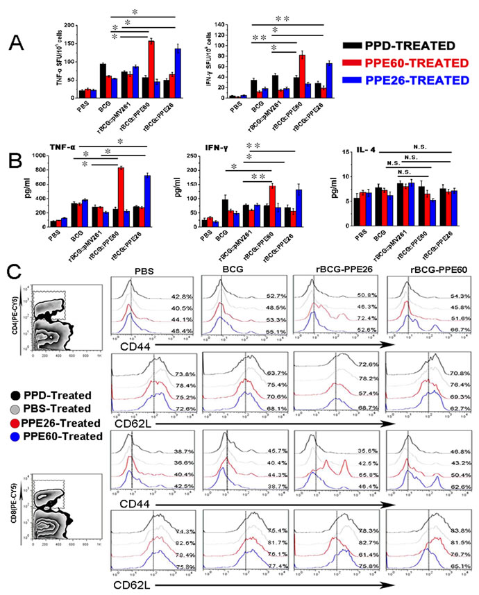 Recombinant BCG expressing PPE26 enhances the Th1-type immune response and induces effector/memory T cell proliferation.