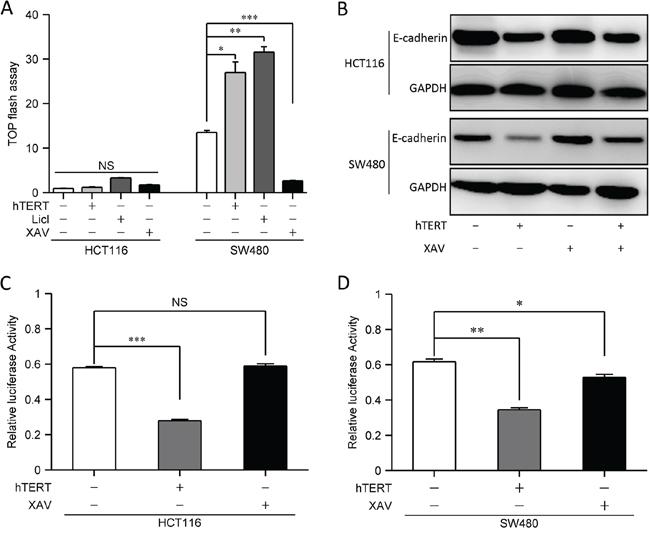 hTERTpromotes EMT independent of the Wnt signaling pathway.
