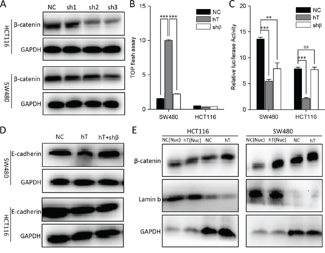 Interfere with β-catenin in HCT116 and SW480 cells.