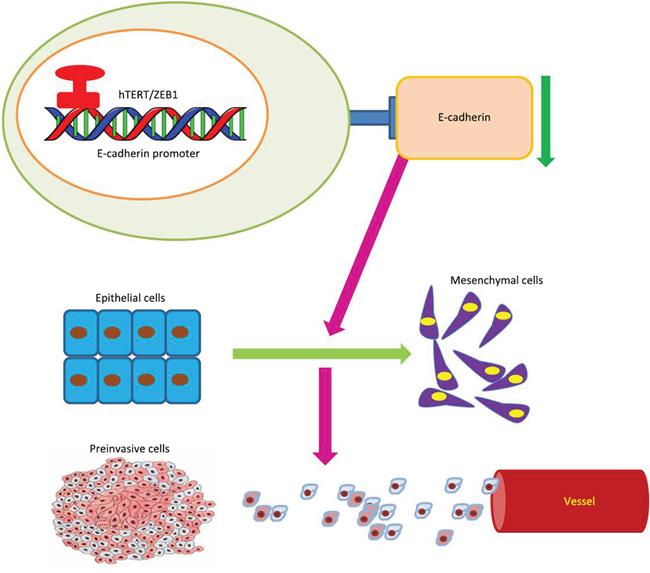 Model of hTERT/ZEB1 complex regulation of E-cadherin expression.