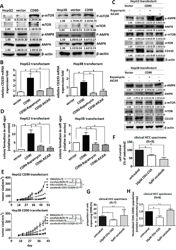 Inhibition of the AMPK/mTOR pathway attenuates the upregulation of CD133 by CD90 in cell lines and fresh liver cancer specimen.