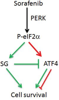 Model for the cross-talk between SGs and eIF2α phosphorylation in sorafenib-treated HCC.