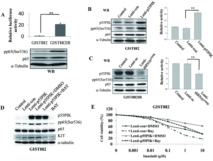 p55PIK regulation on KIT expression was mediated by NF-κB signaling.