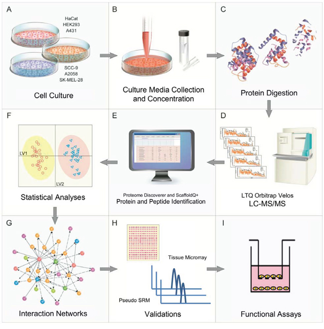 Experimental workflow and overview of the proteomics and bioinformatics analyses, validations and functional assays.