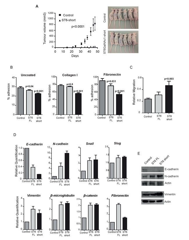 Expression of ST6GalNAc1 in PCa cells reduces adhesion, increases mobility and promotes transition towards a mesenchymal phenotype.