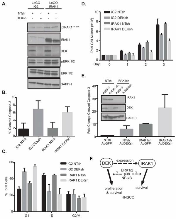 IRAK1 and DEK depletion cooperate to increase apoptosis.
