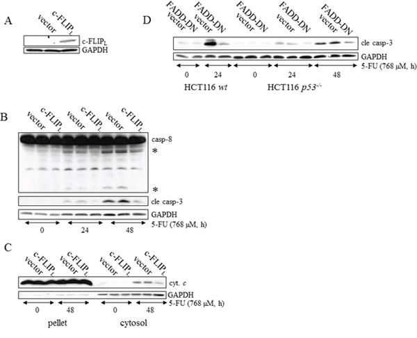 DISC activation is a prerequisite for caspase-dependent apoptotic signaling in p53-deficient HCT116 cells.