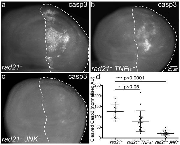 The effect of blocking TNFα signalling by depletion of Eiger or JNK, on the fate of CIN cells.