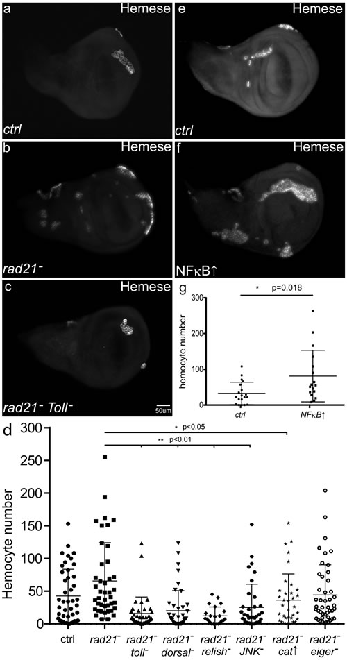 The effects of CIN and immune signalling on the recruitment of hemocytes.