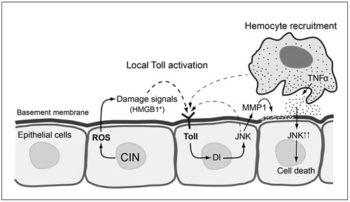 Proposed model for local Toll pathway activation giving apoptosis in response to CIN.