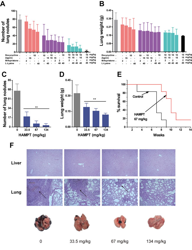 Effects of HAMPT on melanoma experimental mouse model.