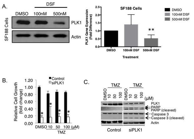 DSF inhibits the expression of PLK1 in pediatric GBM SF188 cells.