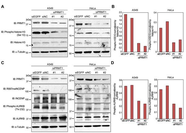 Regulation of AURKB activity by PRMT1.