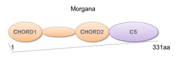 Morgana structure.