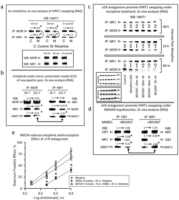 Physiological HINT1 transfer to NR1 subunits: role of σ1R antagonism.