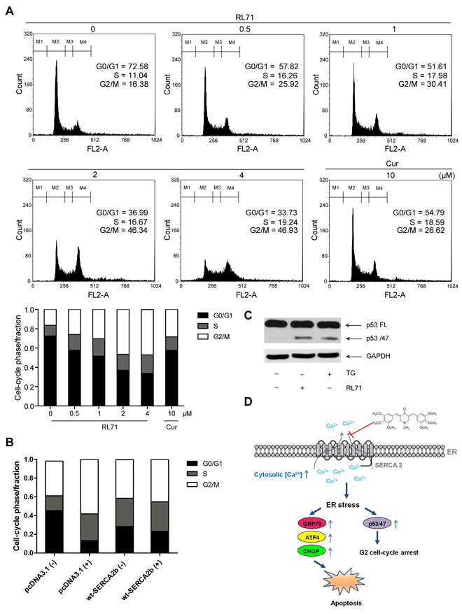 RL71 induces G2/M cell cycle arrest via ER stress in SW480 cells.