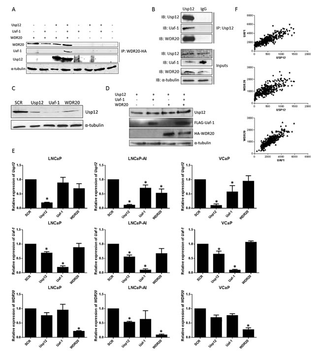 Usp12, Uaf-1 and WDR20 form a complex acting within a positive feedback loop.