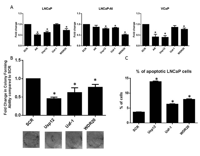 Uaf-1 and WDR20 regulate PC survival and proliferation.