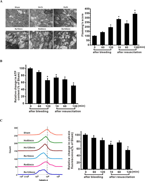 Mitochondrial injury in ASMCs of shock animals is associated with down-regulation of SIRT1/3.