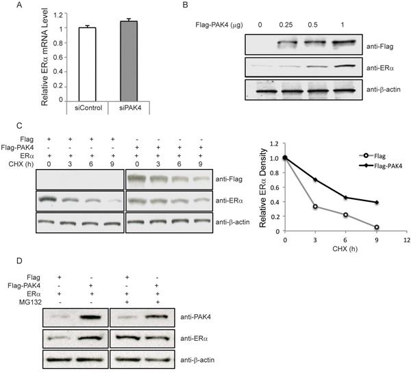 PAK4 regulates ERα protein stability.